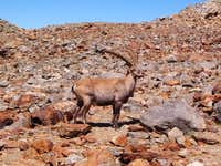 A wild goat on the scree...