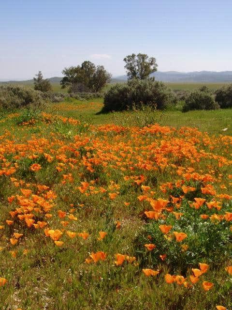 California poppies near KCL...
