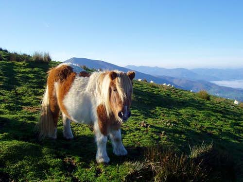 Small mountain horses