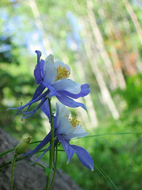 Columbine's along the trail....