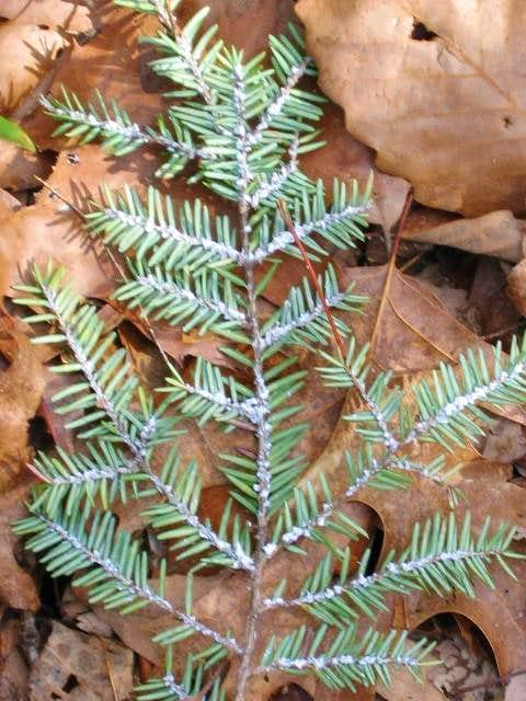 The Hemlock wooly adelgid...