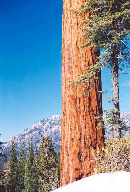 Maggie Mountain & Sequoia