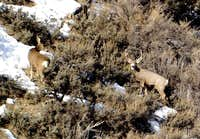 A mule deer buck and doe in...