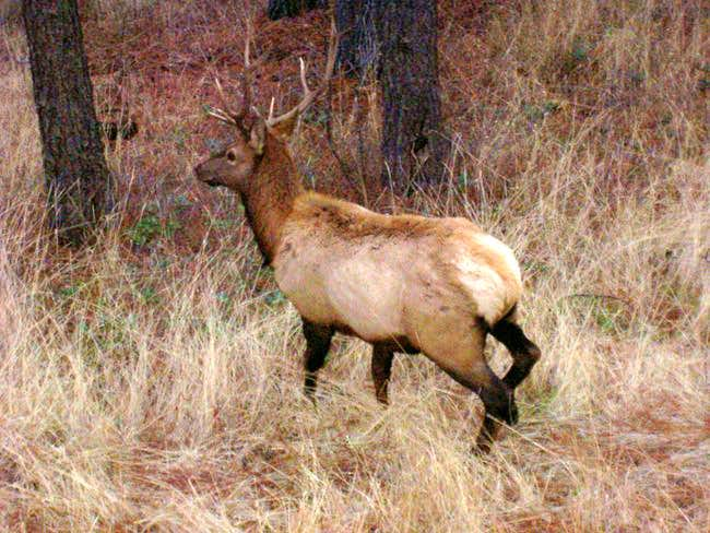Lucky Peak has many Elk and...