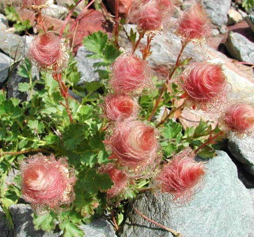 The fruit of Geum reptans, seen in the neighbourhood of Ravelli fixed  bivouac <i>2860m</i>