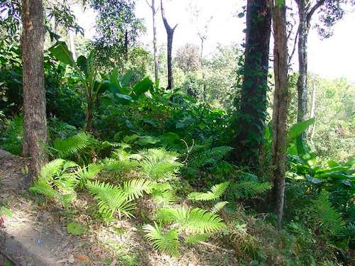 Ferns grow in abundance along...