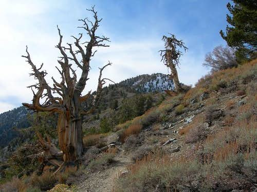 Bristlecone pine on the way...