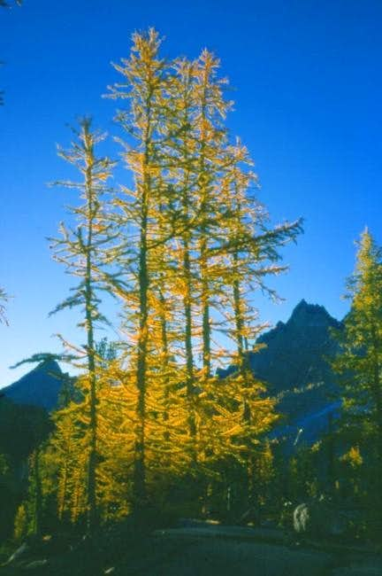 Larch in fall color. Sherpa...