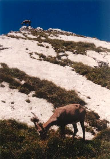 Ibex on the leaning...