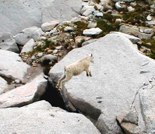 Small mountain goat caught in...