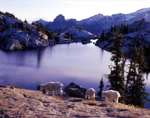 Robin Lake & goats. Sept....