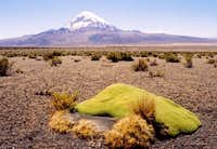 Sajama with altiplano flora...