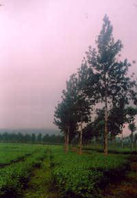 Wonosari Tea Garden