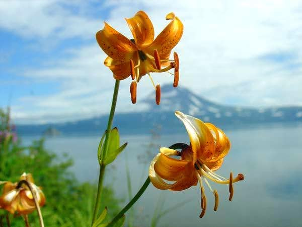 Lily at the Kuril Lake