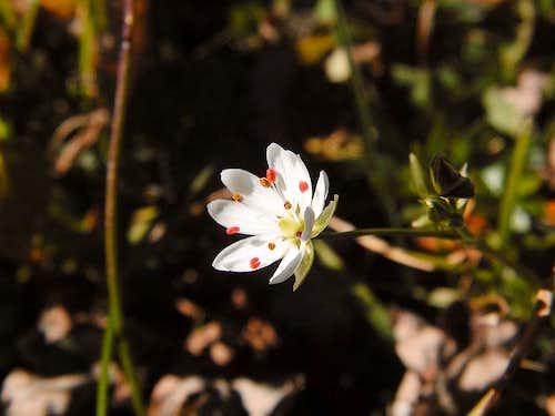 Moehringia ciliata