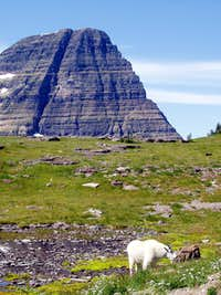 Mountain Goat in Glacier NP