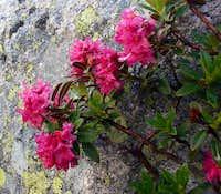 Flowers near Lac Blue in Chamonix