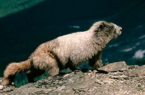 Marmot on the summit of Ladies Peak