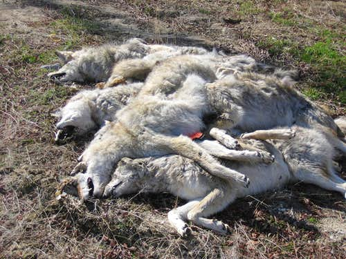 Coyotes- 7 Dead