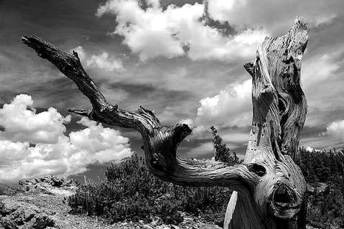 Weathered Pine - Mount Royal