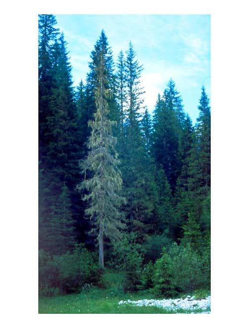 A spruce...