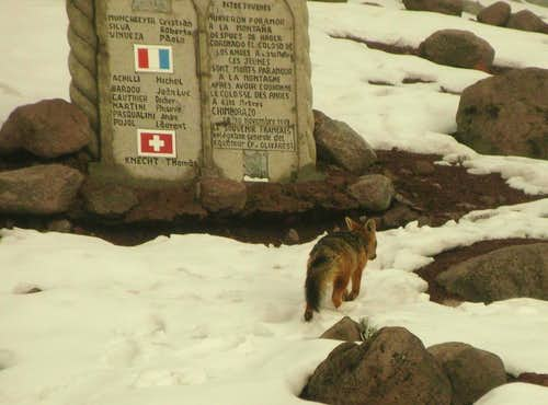 Snow fox in front of memorial for fallen climbers
