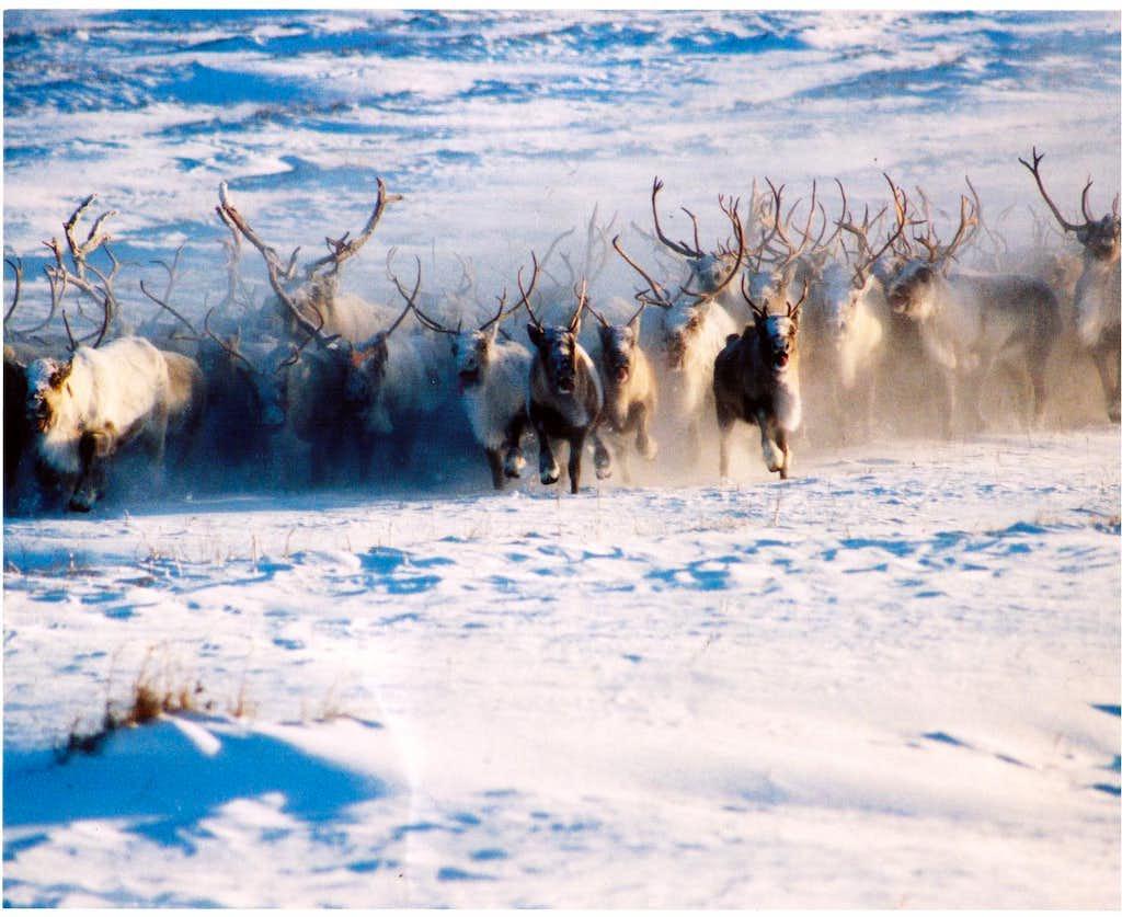 Crazy Reindeer