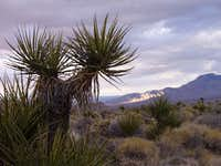 Mojave Yucca in the Granite Mountains