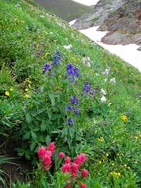 Alpine avens, bluebells, Colorado columbine, indian painbrush in the Weminuche