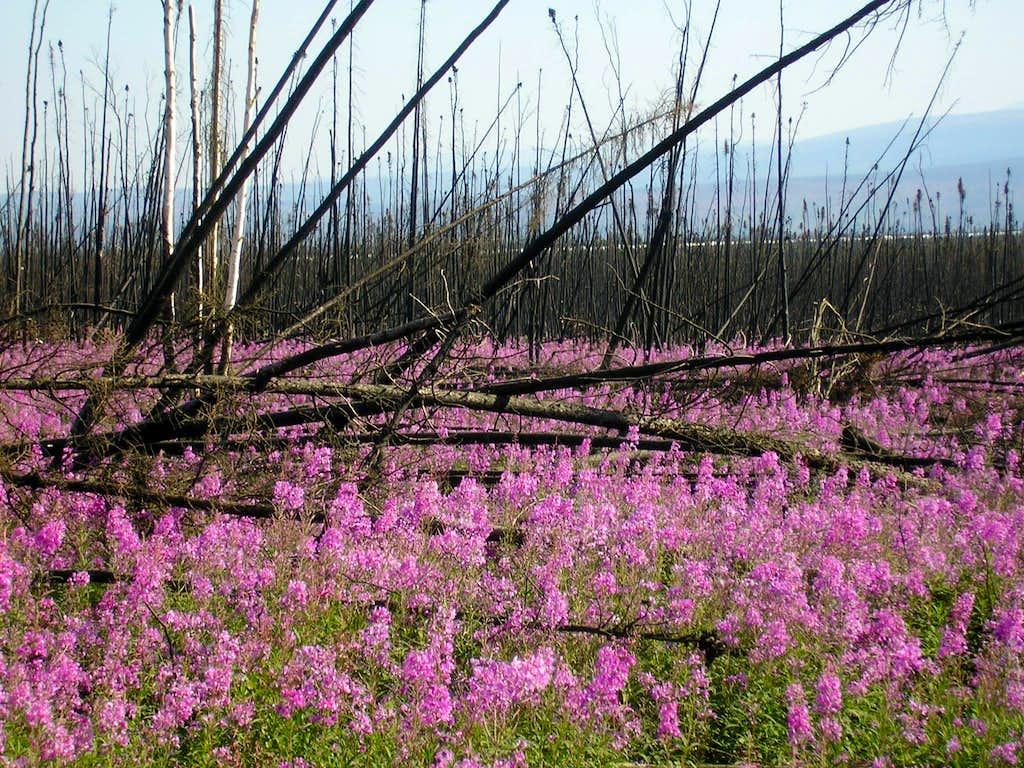Fireweed in Alaska