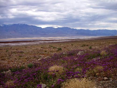 Wildflowers near Badwater