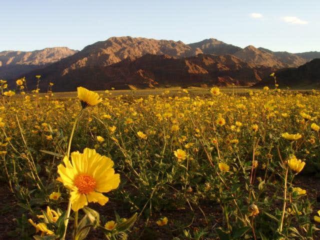 Desert Sunflowers 2