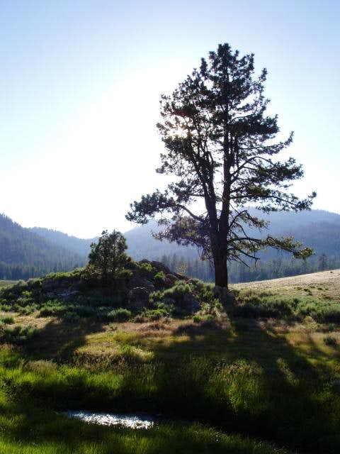 Jeffrey Pine at Manter Meadow