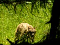 Golden Black Bear, Fern Canyon, CA