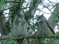 A pair of Great Horned Owls, Klamath Falls, OR