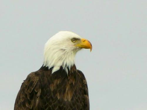 Bald Eagle, Klamath Falls, OR