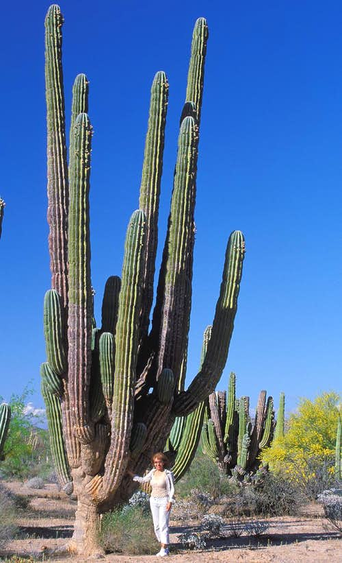 Giant Cacti   Photos  Diagrams  U0026 Topos   Summitpost