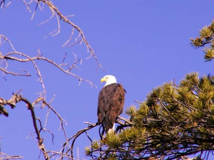 Colorado Bald Eagle