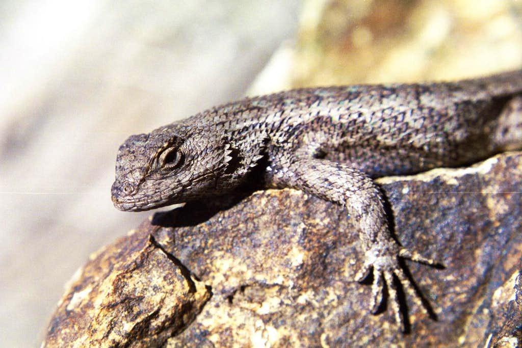 Idaho Lizard