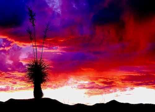 Yucca at Sundown
