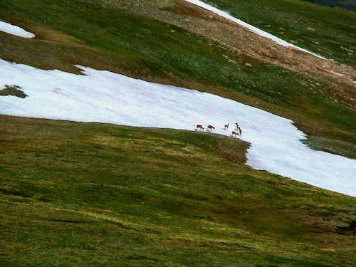 Elk on Trail Ridge