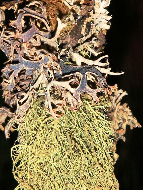 Cortina lichens...