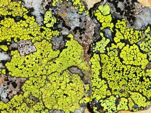 Alpine lichens...