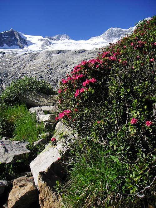 Alpine roses