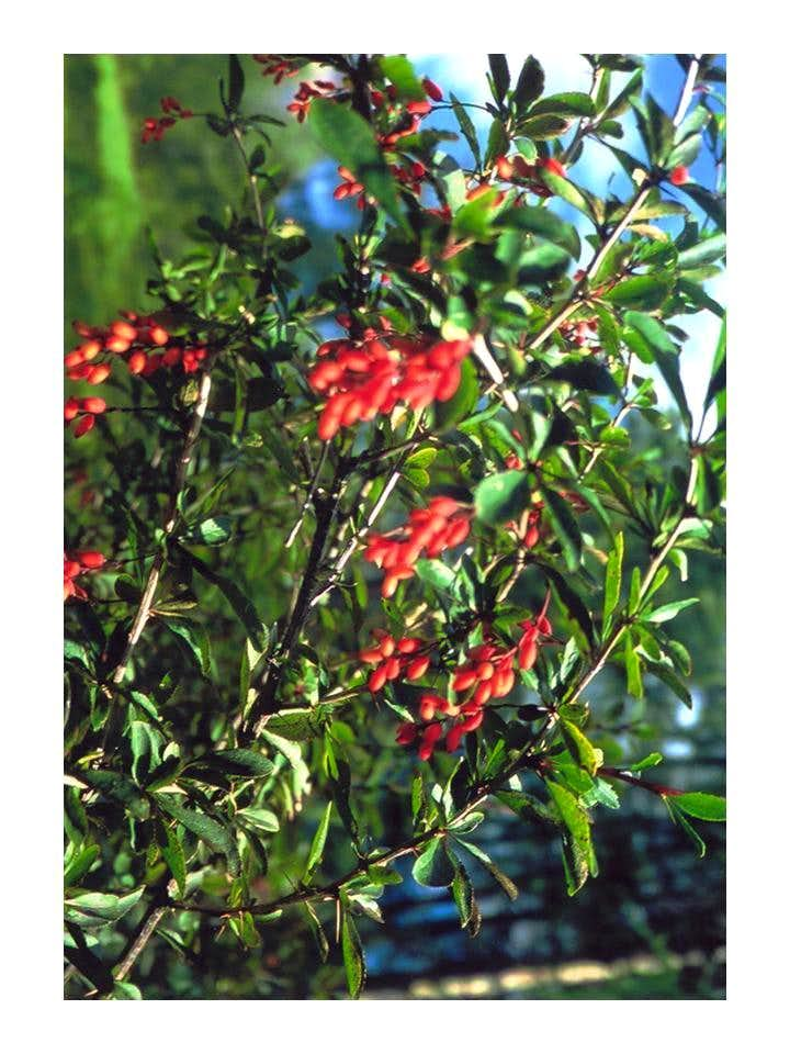 Barberry...