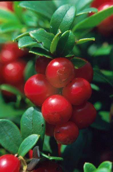 European Cranberries