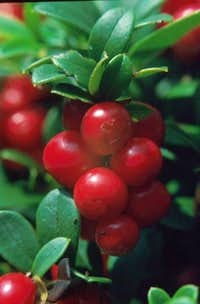 European Cranberries