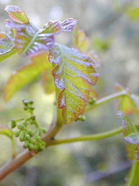 Poison Oak is very common on...