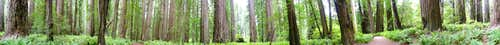 Stout Grove Redwoods Panorama