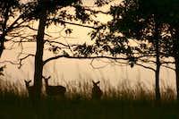Deer in Big Meadow